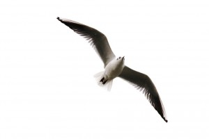 Mouettes (1)