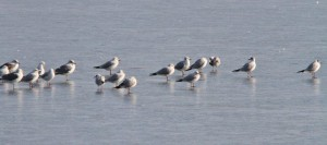 Mouettes (11)