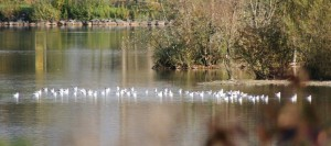 Mouettes (12)
