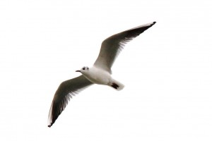 Mouettes (13)