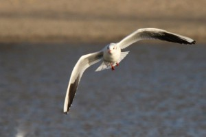 Mouettes (2)