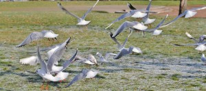 Mouettes (4)