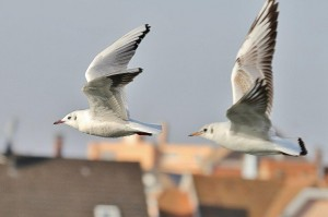 Mouettes (5)