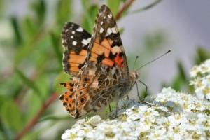 Papillons de nos jardins (1)