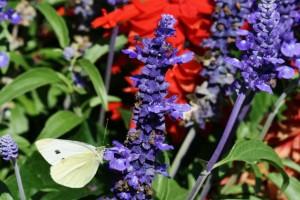 Papillons de nos jardins (10)