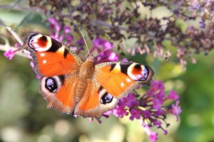 Papillons de nos jardins (11)