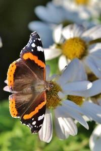 Papillons de nos jardins (12)