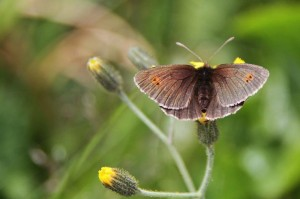 Papillons de nos jardins (13)
