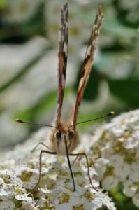 Papillons de nos jardins (2)