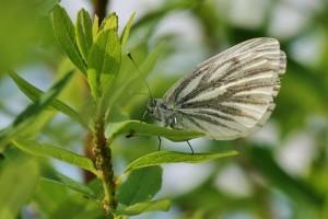 Papillons de nos jardins (3)