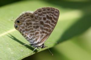 Papillons de nos jardins (4)