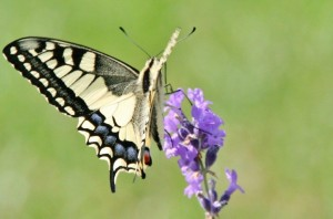 INSECTES Papillons du jardin