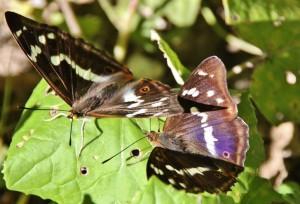 Papillons de nos jardins (6)
