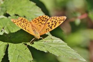 Papillons de nos jardins (7)