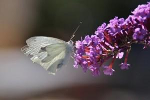 Papillons de nos jardins (8)
