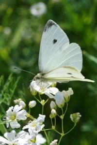 Papillons de nos jardins (9)